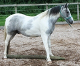 Understand Your Horse. New Forest Pony for sale, handled using natural horsemanship.